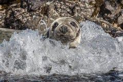 Atlantyk popielata foka Zdjęcia Royalty Free