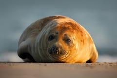 Atlantyk Popielata foka na piasek plaży, morze w tle, Helgoland wyspa, Niemcy Zdjęcie Stock