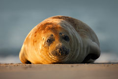 Atlantyk Popielata foka na piasek plaży, morze w tle, Helgoland wyspa, Niemcy Obrazy Stock