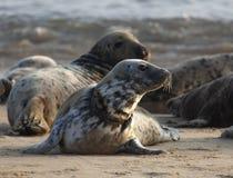 Atlantyk popielata foka na pla?y obraz royalty free