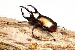 Atlas beetle Stock Image