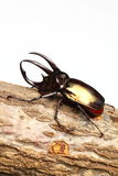 Atlas Beetle Royalty Free Stock Images
