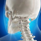 The atlas bone stock photos