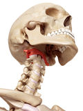 The atlas bone Royalty Free Stock Photo