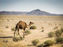 Atlas camel Stock Image