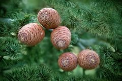 Atlas Cedar Cones royalty free stock photos