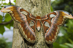 Atlas d'Attacus Images stock