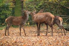 Atlas deer. The trio of atlas red deers royalty free stock image