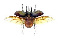 Atlas exótico de Chalcosoma del escarabajo imagen de archivo