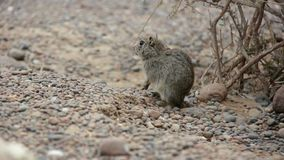 Atlas Gundi rodent cleaning fur and then run away. On stony ground near wooden bush in winter day stock footage