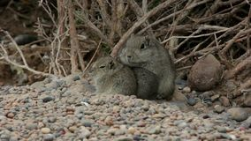 Atlas Gundi rodent family outside the nest in Argentina. Atlas Gundi rodent cute furry family outside the nest in Argentina warming eachother up stock video footage