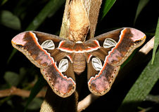 Atlas moth. Young atlas moth butterfly (Attacus atlas royalty free stock image