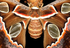 Atlas moth. Butterfly, Attacus atlas stock photos