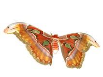 Atlas moth Stock Image
