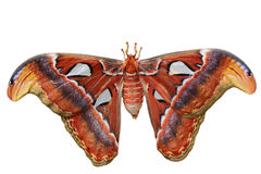 Free Atlas Moth Royalty Free Stock Photos - 24658598