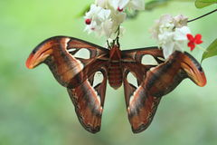Atlas moth. The large buttefly atlas moth stock image