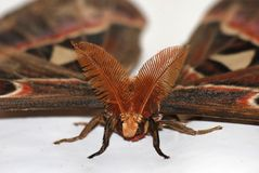Atlas Moth Stock Photo