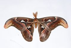 Atlas Moth Royalty Free Stock Photos