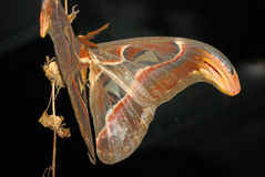 Atlas Moth Royalty Free Stock Images