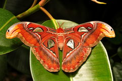 Atlas Moth,aka,Attacus atlas Stock Photo