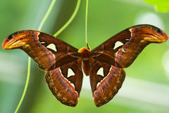 Atlas Moth (Attacus atlas) Stock Photography