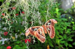 Free Atlas Moth (Attacus Atlas) Stock Photo - 24688920