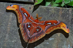 Atlas moth (Attacus atlas). Big and colorful Atlas moth (Attacus atlas Royalty Free Stock Image