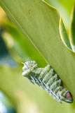 Atlas Moth (Attacus atlas) Caterpillar. Last stage of largest caterpillar attacus atlas moth royalty free stock image