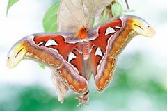 Atlas moth Attacus atlas Royalty Free Stock Photos