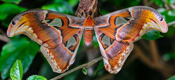 Atlas Moth. With beautiful wings stock images