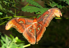 Atlas moth butterfly. (Attacus atlas royalty free stock photography