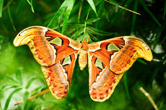 Atlas moth butterfly. Specimen of big Atlas moth Royalty Free Stock Image