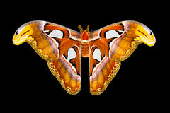 Atlas moth butterfly with open wings. Isolated on black. Atlas moth butterfly or Attacus atlas butterfly with open wings in a top view. Isolated on black Stock Images