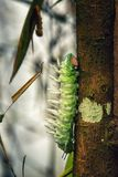 Atlas Moth Caterpillar. An Atlas Moth Caterpillar climbing up a tree stock image