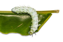 Atlas moth caterpillar Stock Photography