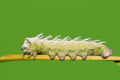Atlas moth caterpillar Royalty Free Stock Image
