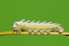 Atlas moth caterpillar Royalty Free Stock Image