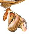 Atlas moth Stock Photo