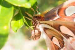 Atlas Moth Stock Photos