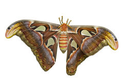 Atlas Moth Cutout royalty free stock photography