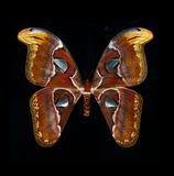 Atlas Moth isolated on black Stock Photography