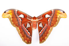 Atlas Moth isolated Stock Photography