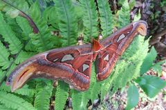 The Atlas Moth, the largest butterfly in the world on a leaf of royalty free stock photography