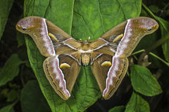 Atlas Moth perched on leaf stock photo