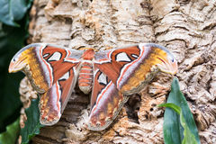 Atlas moth sitting on a tree trunk. Macro of an Atlas moth Attacus atlas sitting on a tree trunk Royalty Free Stock Image