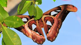 Atlas moth (underside) Royalty Free Stock Photos