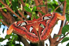 Atlas moth (upper side) Royalty Free Stock Images