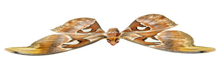 Atlas Moth on a white background- Attacus atlas Royalty Free Stock Photography