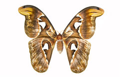 Atlas Moth on a white background - Attacus atlasStock Photo: Royalty Free Stock Photo