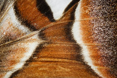 Atlas Moth wings detail - Attacus atlas Royalty Free Stock Image